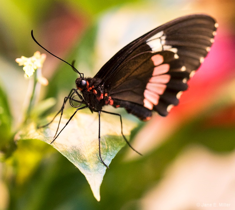 Elegant Tropical Butterfly
