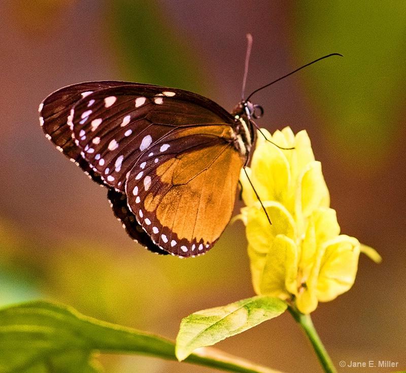 Tarricina Tropical Butterfly