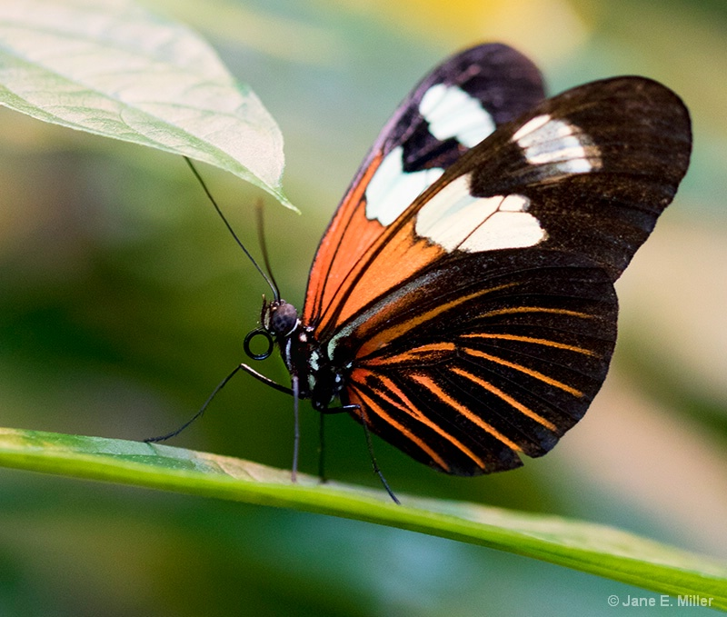 Brilliant Butterfly