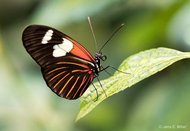 Heliconius Laparus Doris Longwing Butterfly