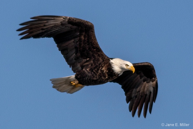 Eagle with Strength