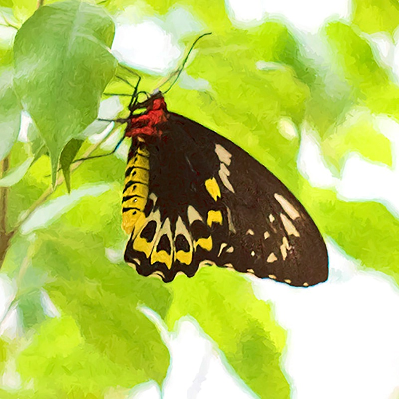 Female Cairns Birdwing