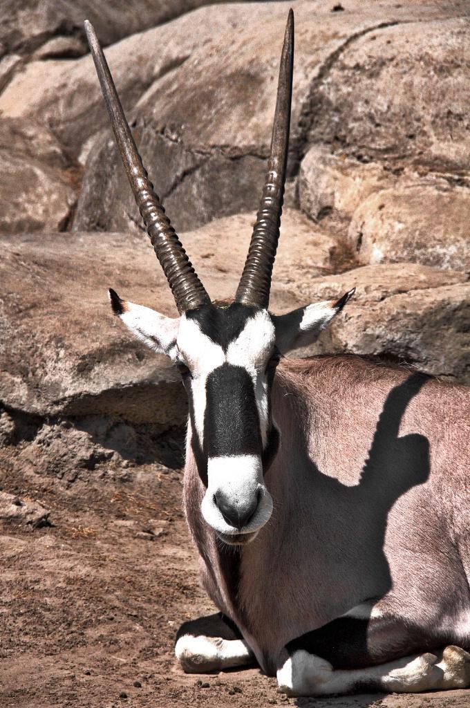 Lying Down Gazelle