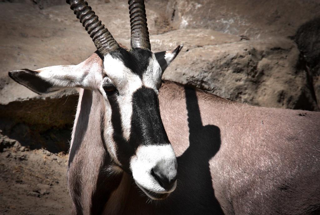 Masked Gazelle