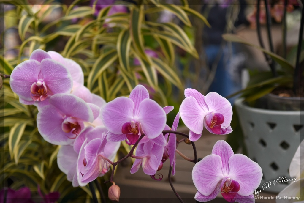 Orchids on display. . .