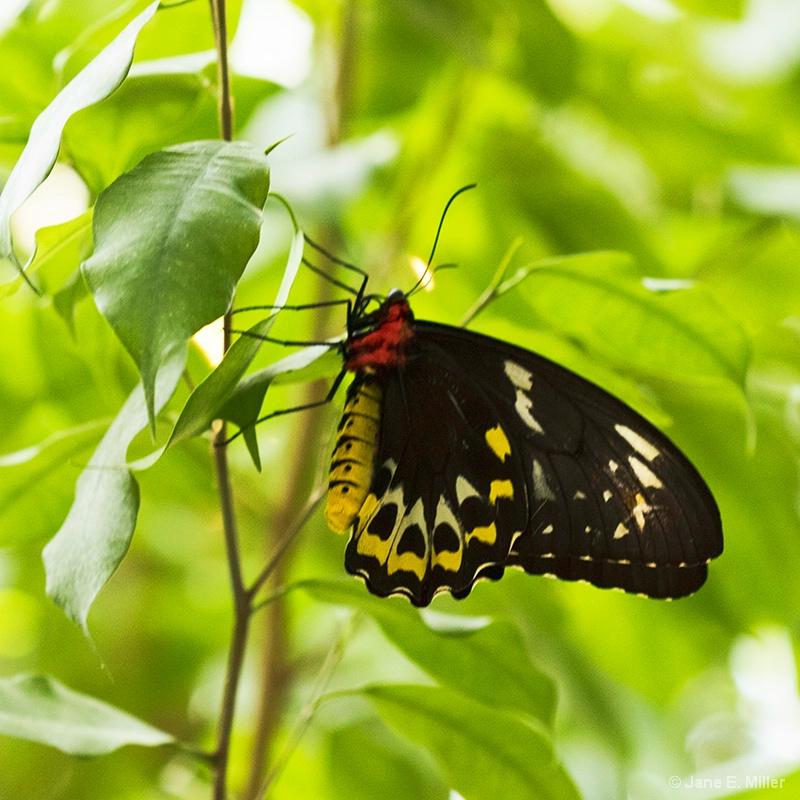 Pretty Lady Butterfly