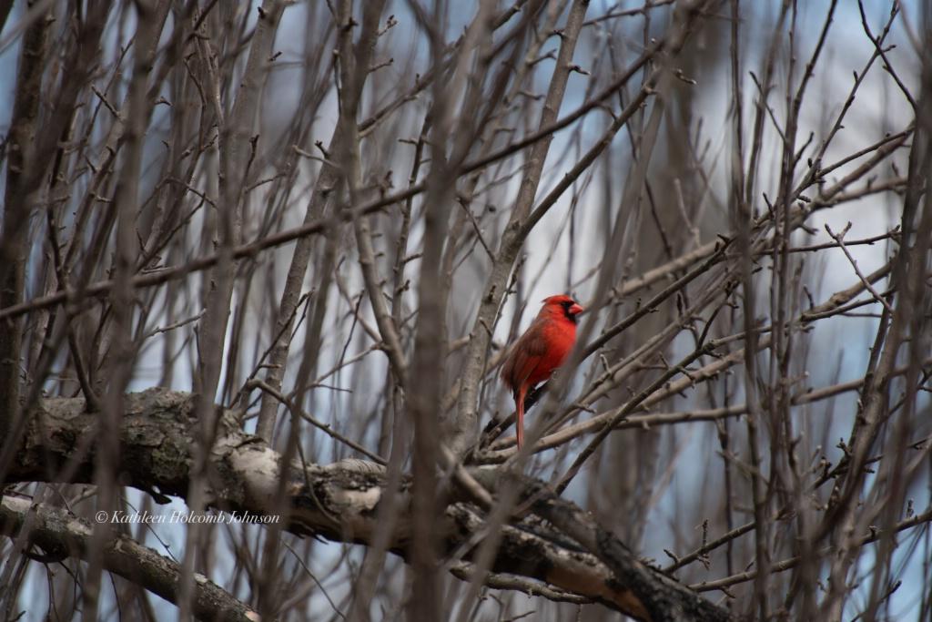 Cardinal Just Hanging Out!