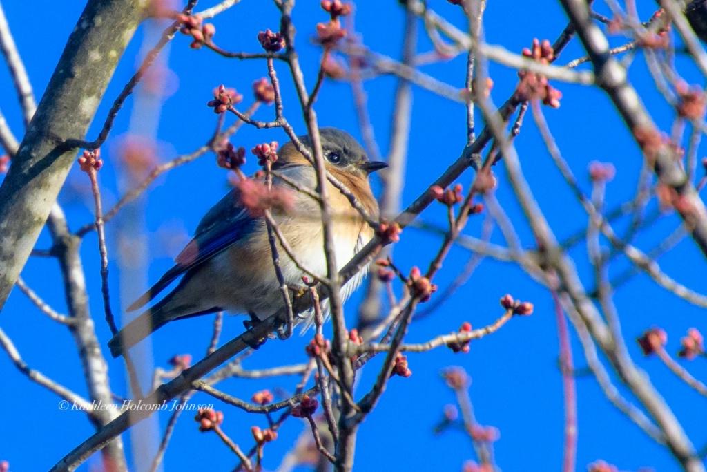 Bluebird Watching Over You!