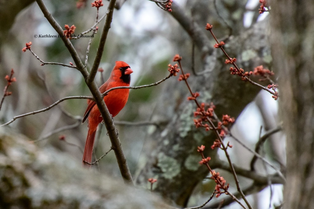 Cardinal Looking For His Lady!