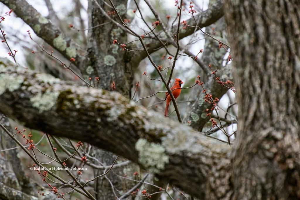 Cardinal in A Big Tree!