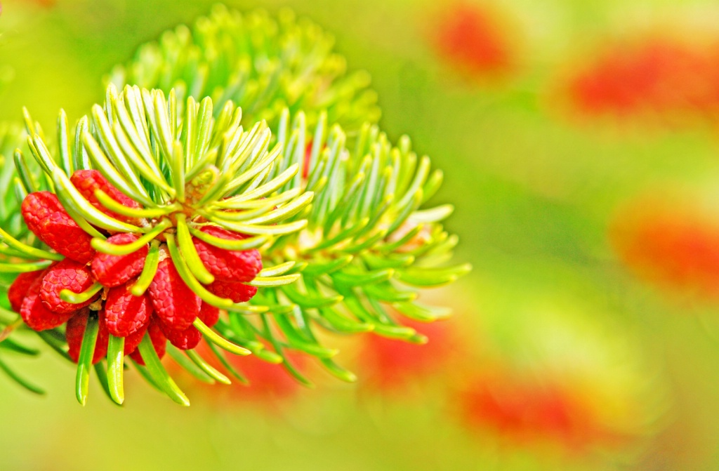 Fir-tree blossom.