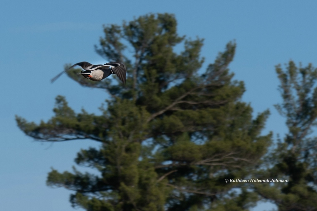 Mallard Flying!