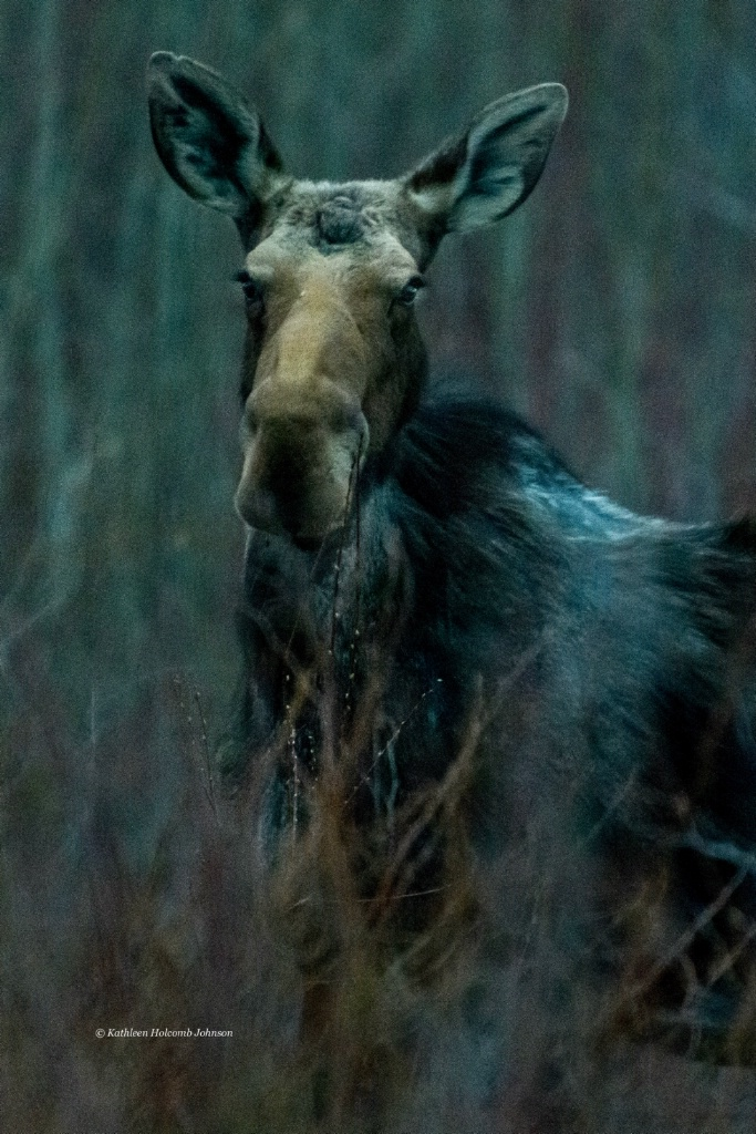 Another Moose Eating Fresh Buds!