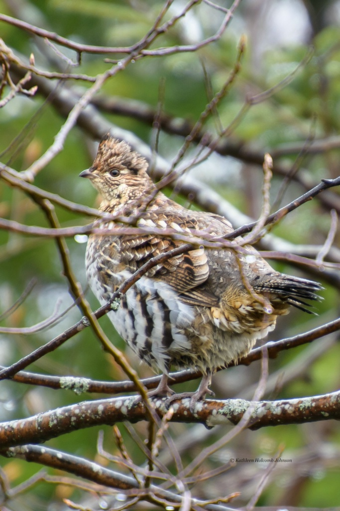 Partridge (Grouse) in a Tree!