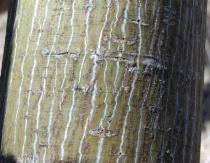 Moosewood tree.