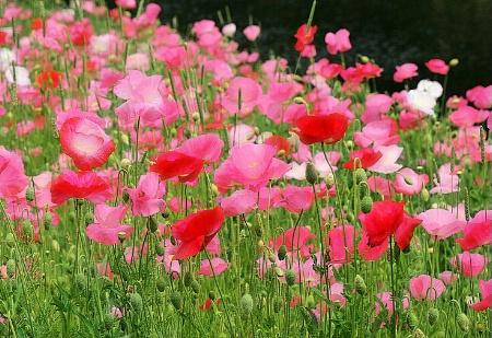 Poppies Aplenty