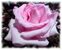 """""""The Pink rose"""""""