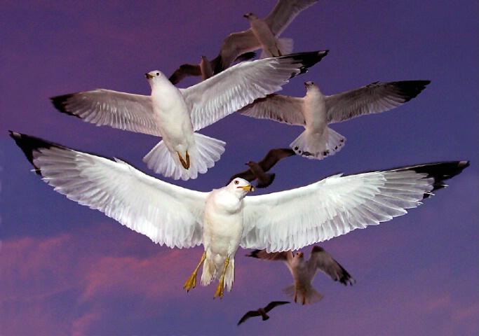 Norfolk Sunset Gulls