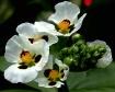 Sagittaria Bloom
