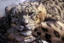 Snow Leopard-Panthera uncia