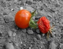 Decline of the Cherry Tomato