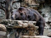 Grizzly Bear at rest