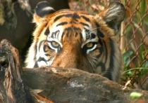 Hiding tiger crouching down