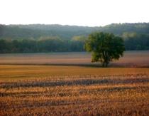 Morning Harvest Field