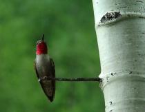 Hummingbird on Aspen