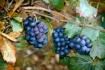 Remnant Grapes