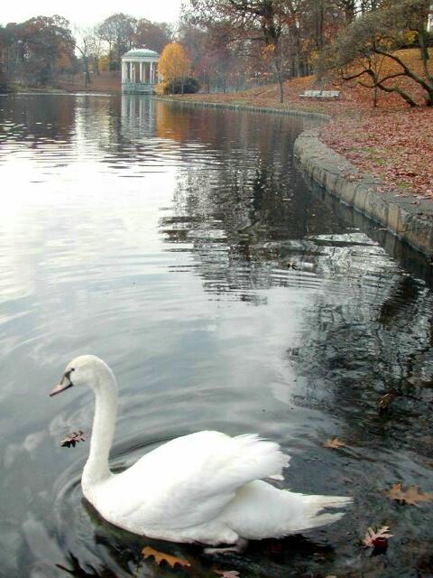 Swan in Park