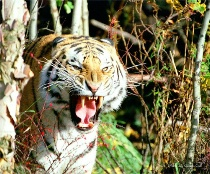 A hungry tiger