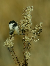 Black-Capped Chickadee with the munchies