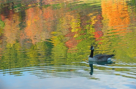 Goose on Colored Water