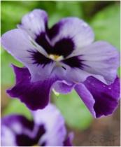 <font color=purple><b>Pansified</b></font>