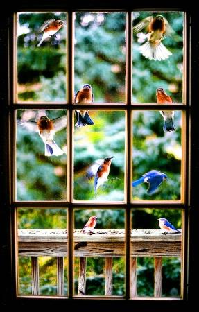 """Impatient Bluebirds"""