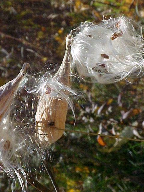 Milkweed in the Wind