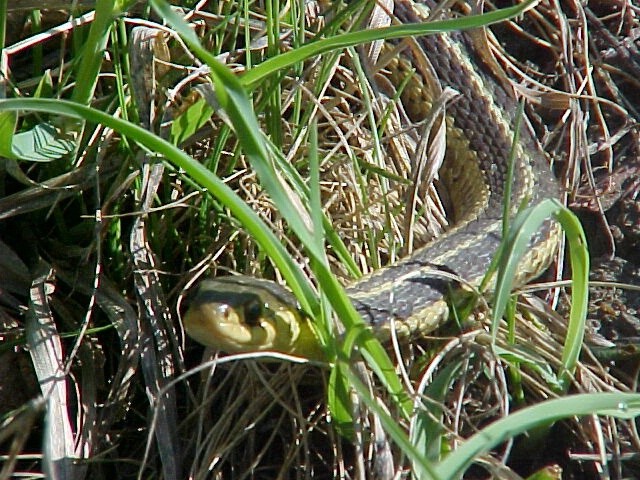 Snake Hiding in the Grass
