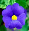 Purple Flower wit...