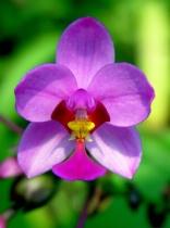 Small Lavendar Orchid