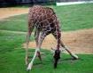 Young Giraff