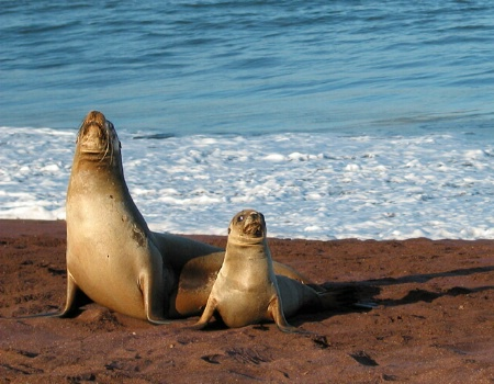 Galapagos Sea Lions: Posture Lesson