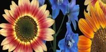 sunflowers and delphinium on black