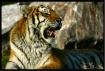 Content Tiger