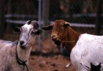 Goat Conversation
