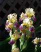 Stalk of Iris