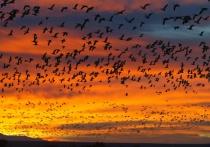 Flock at Sunrise