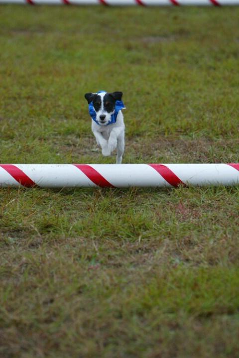 Jack Russell hurdle