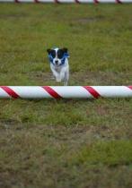 Jack Russell hurdle