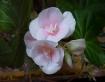 Begonia Pretty in...